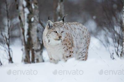Lynx in winter forest