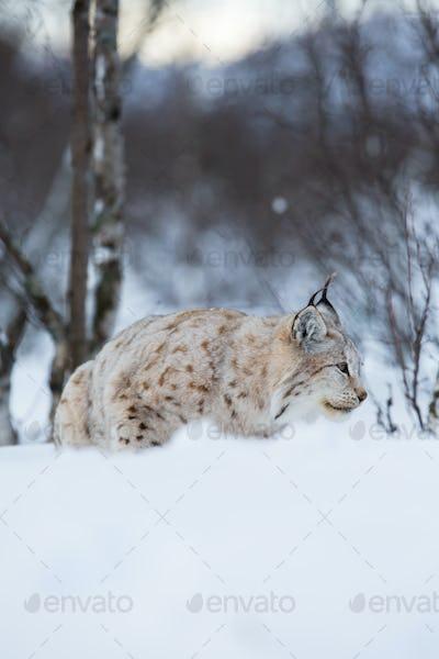 Lynx sneaks in winter landscape