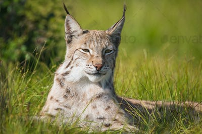 Proud lynx laying in the grass