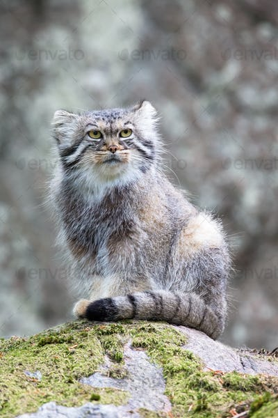Pallas cat watching out