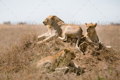 Lions pride in Serengeti