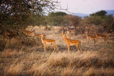 Gazelles in Serengeti