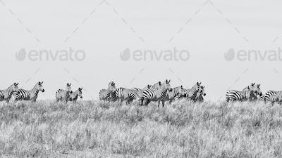 Zebras in Serengeti