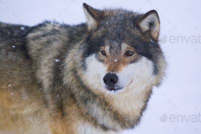 Wolf in the Cold Winter