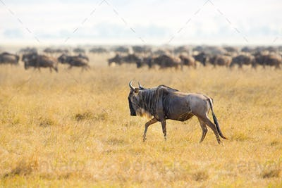 Herds of wildebeests in the Ngorongoro