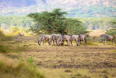 Herd of wildebeests eats grass in Africa