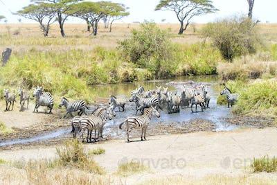 Zebras drinks water in Serengeti