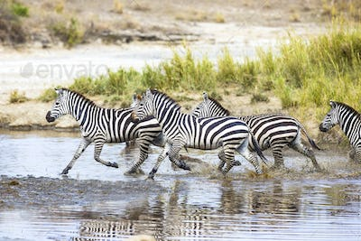 Zebras runs in the water