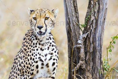 Cheetah sits under tree and looks after enemies in Serengeti