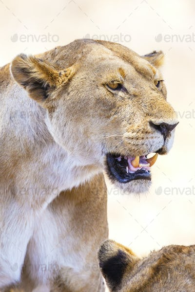 Close up of large wild lion in Africa
