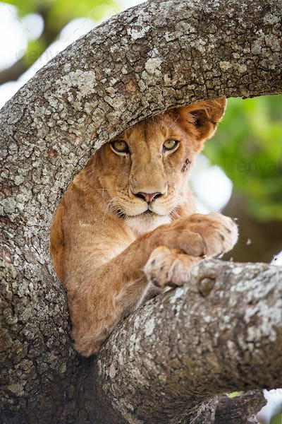Beautiful lion rests in tree