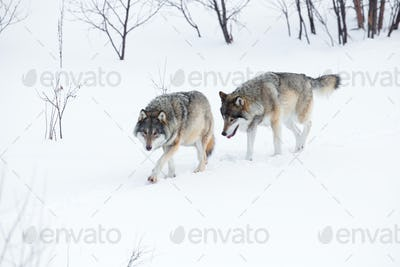 Two wolves walking in the snow