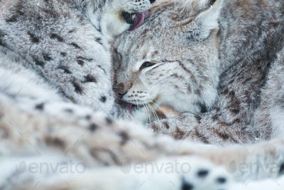Two lynx cleaning fur in snow