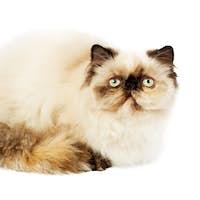 Cream Persian cat