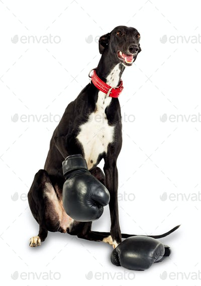 Dog in boxing gloves