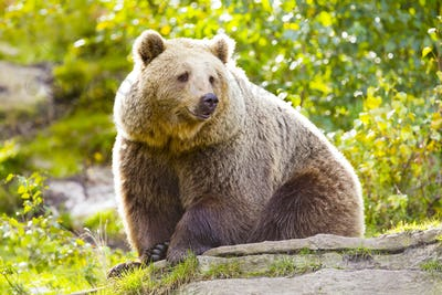 Big adult brown bear sitting in the sunset