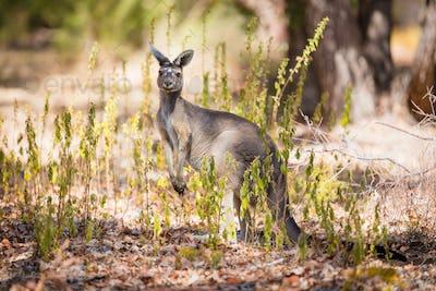 Kangaroo looking for enemies