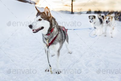 Husky dog ready for sledding in the cold winter