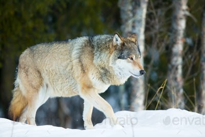 Wolf walking in the cold winter forest