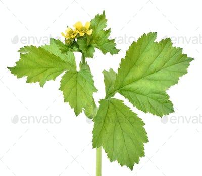 Ranunculus repens flower