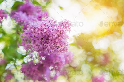 Blooming tree branches with violet lilac flowers . Springtime. S