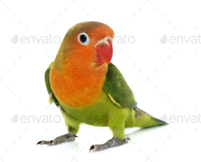 young fischeri lovebird