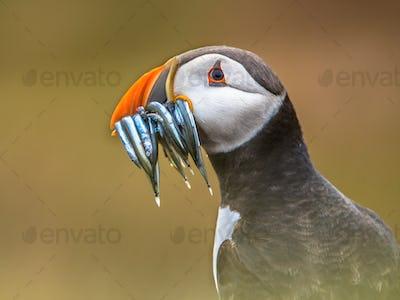 Portrait Puffin with beak full of fish