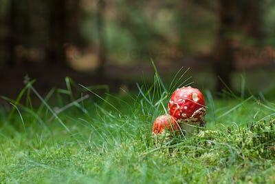 Poisonous Amanita mushrooms