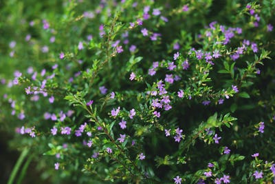 Many small bright violet flowers