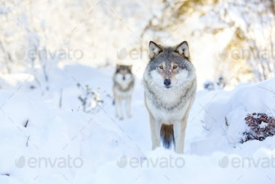 Two wolves in cold winter forest