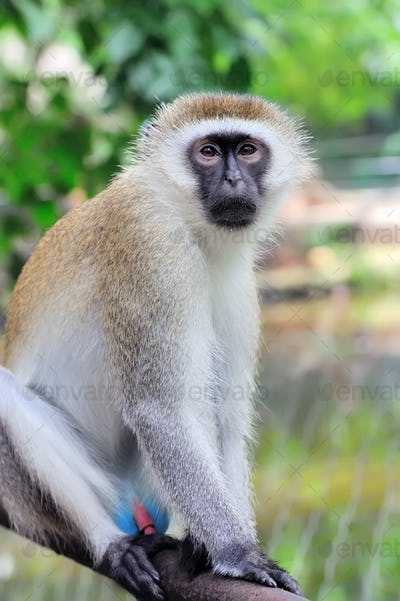 Close-up vervet monkey