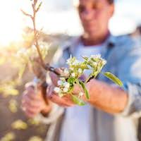 Senior man pruning apple tree in sunny spring garden