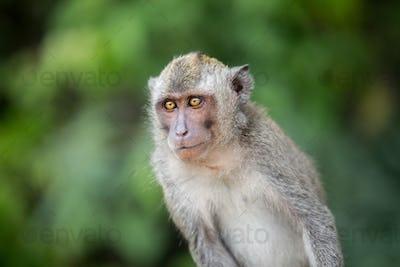 Sitting macaque monkey
