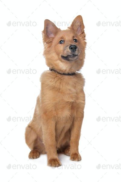 mixed breed dog,sheltie and Eurasiër