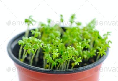 Fresh garden cress (LEPIDIUM SATIVUM)