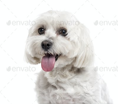 Close up of a Maltese isolated on white