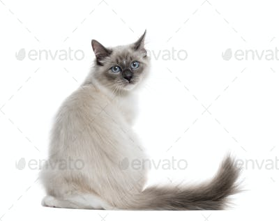 Rear view of a Neva Masquerade sitting, isolated on white