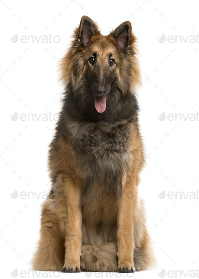 Belgian shepherd sticking the tongue out, isolated on white