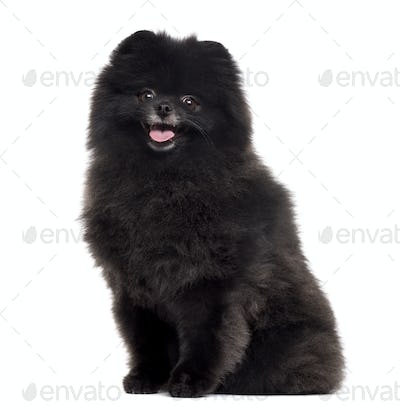 Pomeranian sticking the tongue out, isolated on white