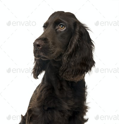 English Cocker Spaniel puppy, isolated on white