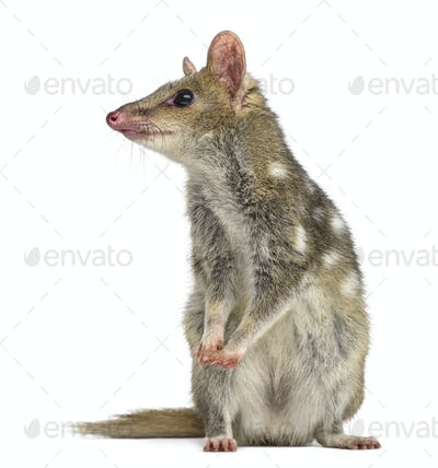 Quoll standing up and looking away, isolated on white