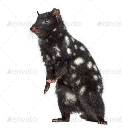 Quoll on his hind legs, isolated on white