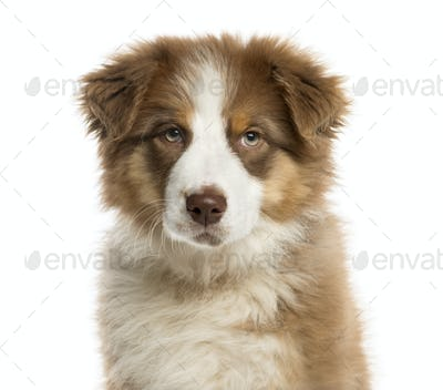 Close-up of an Australian Shepherd puppy in front of a white background