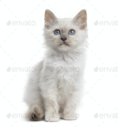 Front view of a Birman kitten sitting, isolated on white