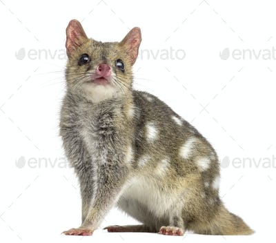 Quoll, isolated on white