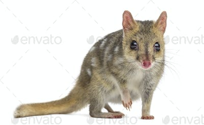 Quoll with leg up, isolated on white