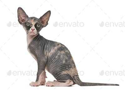 Sphynx kitten sitting, isolated on white