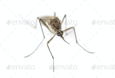 Top view of a Tiger mosquito isolated on white