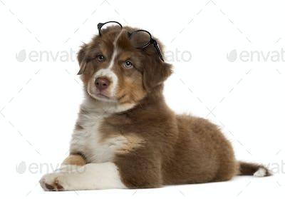Australian shepherd puppy wearing glasses, isolated on white