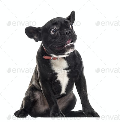 Scared dumb French Bulldog making a face, isolated on white